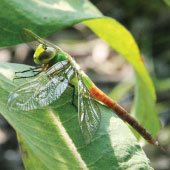 Introduction to Dragonflies